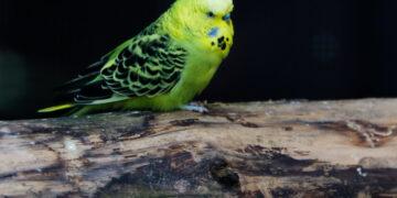 Житель города Артема украл из зоомагазина волнистых попугаев для своей девушки